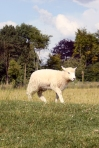 avebury_sheep004
